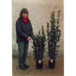 Laurus nobilis, tæt søjleformet busk, 20ø