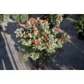 Metrosideros excelsus, rød blomst, kan bruges til indendørsbeplantning bred busk, 24ø,