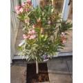 Nerium oleander, nerie, stamme, mix farver, lev. i blomst i maj, 20ø, T100-120
