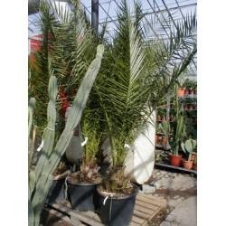 Phoenix canariensis, brede, 35ø, T200-250