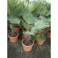 Trachycarpus wagnerianus, 15-20 cm stamme, 26ø, T70-80