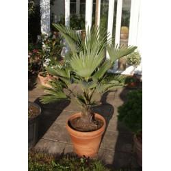Trachycarpus wagnerianus, hørpalme 20-30 cm stamme