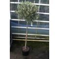 Træ, 80-100 cm stamme, 45-50 cm tæt krone, 8-9 cm st. omf.,  T160-180, 24ø