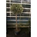 Oliventræ, 80 cm stamme, 60-80 cm tæt krone, 12-14 cm st.omf., T175-225, 35ø
