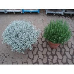 Rosmarin, kraftig busk, 25ø