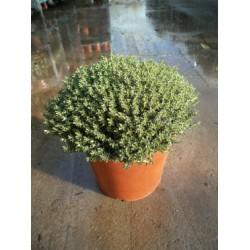 Timian, bred busk, 25ø