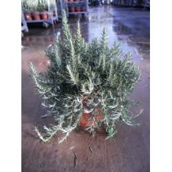 Rosmarin, krybende, meget kraftig busk, 30ø