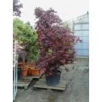 Acer palm. 'Bloodgood', japansk dværghorn, busk, kraftige, 70L