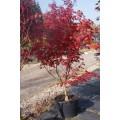 Acer palm. 'Bloodgood', japansk dværghorn, busk, kraftige, 80L