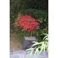 Acer palm. diss. 'Garnet', rød dværghorn, 70-80 cm krone, 80 cm stamme, 25L