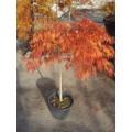 Acer palm. diss. 'Viridis', 80-100 cm krone, 50-60 cm stamme, 35L