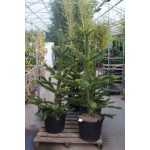 Araucaria araucana, abetræ, velforgrenede,  30L