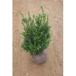 Buxus sempervirens, busk, 25-30 cm bred, tæt, kl. P40-50