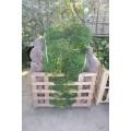 Buxus sempervirens, busk, 40-45 cm bred, tæt, P60-80