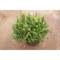 Buxus micr. 'Faulkner', busk, 25-30 cm høj, 1L,  P25-30