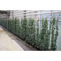 Hedera hibernica, kraftig plante