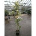Hydrangea petiolaris, klatrehortensia, hvid blomst, 50 cm bred