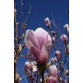 "Magnolia soulangeana, alm. ""tulipantræ"", rosa/hvid,  kraftig, knopper, 18L"