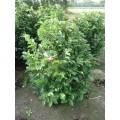 Magnolia hyb. 'Susan', meget brede, kraftige knopper, 15L