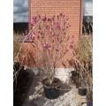 Magnolia hyb. 'Susan', kraftig, meget brede, mange knopper, 65L