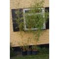 Phyllostachys aureosulcata 'Spectabilis', bambus, gule stængler med grønne striber