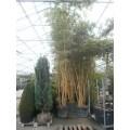 Phyllostachys aureosulcata 'Spectabilis', bambus, meget tykke stængler