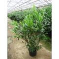 Prunus laur. 'Caucasica', kirsebærlaurbær, busk, kraftige, kl., P125-150