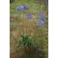 Agapanthus africanus, afrikansk skærmlilje, blå, 5L