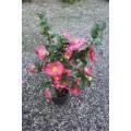 Camellia japonica, kamelia, kraftige, mange knopper, 18Ø, P40-60