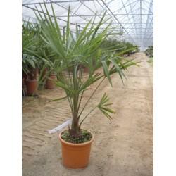 Trachycarpus fortunei,  hørpalme, 10-15 cm stamme, 22ø