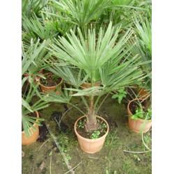 Trachycarpus fortunei,  hørpalme, 15-20 cm stamme, 22-24ø, T90-110