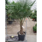 Trachycarpus fortunei,  hørpalme, 30-40 cm stamme, 25L