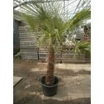 Trachycarpus fortunei,  hørpalme, 100-120 cm stamme, 90L, 60ø