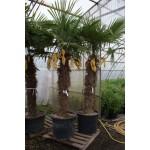 Trachycarpus fortunei,  hørpalme, 160-180 cm stamme, 140-170L