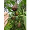 Ficus carica 'Bornholm', figen, 8 stk/kasse, 2L