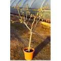 Ficus carica, figen, 60-80 cm stamme, 8-10 cm st.omf., 15L, T150-200