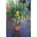 Calamondin, lille træ, frugt,18ø, T60-80