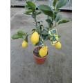 Citron, lille træ, frugt, 18ø,T60-80