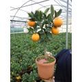 Appelsin, lille træ, knopper, 18ø, T60-80
