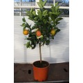 Appelsin, kraftig stamme 50 cm, stor krone, 45-50ø, T175-200