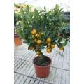 Calamondin, lille træ ,bedste indendørs, frugt, 20ø, T70-90
