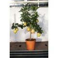 Citron, lille træ, frugt, knopper, 20ø, T70-90