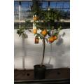 Appelsin, stamme 50 cm, 24ø, T125-135