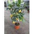 Citron, stamme 50 cm, frugt, 24ø, T125-135