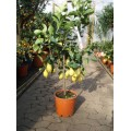 Citron, stamme 50-60 cm, frugt, 28ø, T130-160