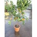 Appelsin, stamme 50-65 cm, 35ø, T125-175