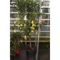 Citron, stamme 50-70 cm, frugt, 35ø. T175-200