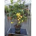 Citron, kraftig stamme 50 cm, stor krone, frugt, 45-50ø, T175-200