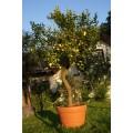Citron, stamme 80-125 cm, 35-45 cm st.omf., 70-80ø