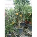 Appelsin, stamme 125 cm, 60-80 cm st.omf., 90ø